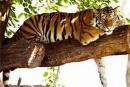 Kdo by nepřál svobodu takovému tygrovi, ale cirkusový tygr by se už v přírodě neuživil, přejme jim alespoň dožít jejich umělý život v klidu